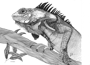 Pen and ink Drawing of and Iguana by Irmelin